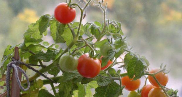 Как вырастить помидоры в домашних условиях из семян