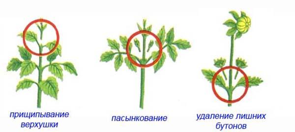 прищипывание георгинов для обильного цветения