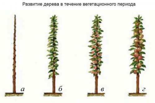 колоновидные деревья
