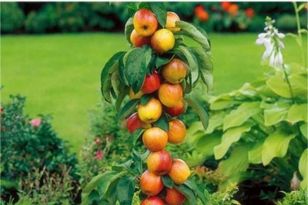 колоновидные деревья яблоня