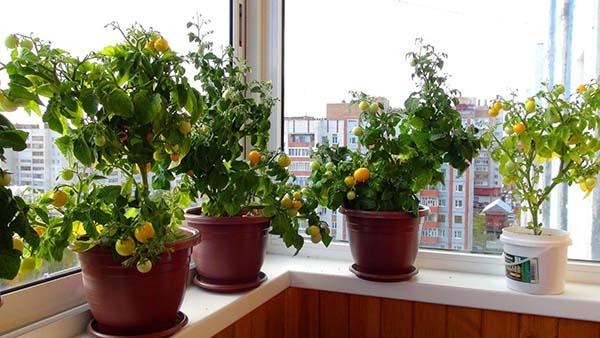 выращивание томатов на подоконнике