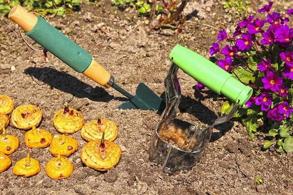 выкапывать и хранить гладиолусы