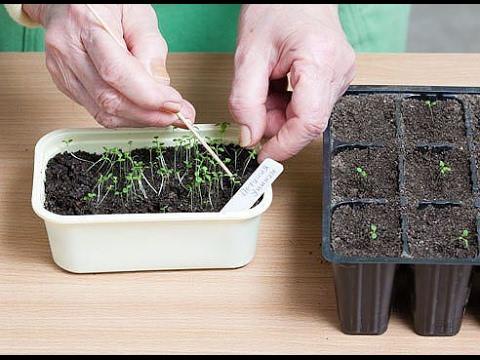 посев петунии из семян