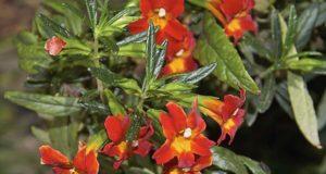мимулюс из семян