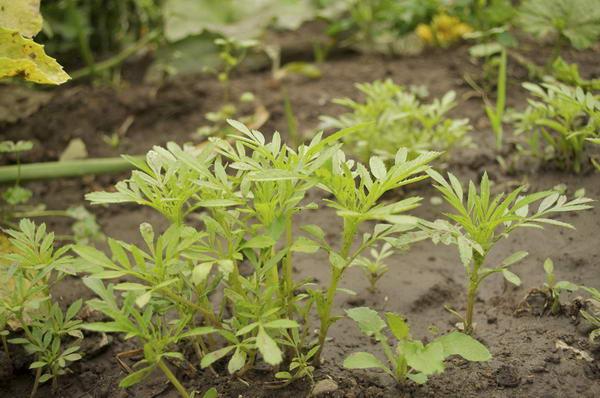Когда высаживать на рассаду семена бархатцев 16