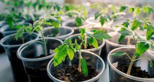 как посадить помидоры на рассаду