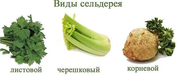 сельдерей черешковый