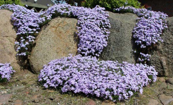 флокс шиловидный в саду